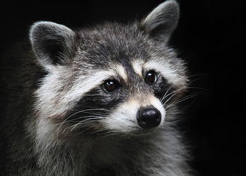 Fibro, My Imaginary Pet Raccoon